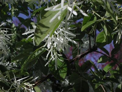 Chinese Fringe Flowers