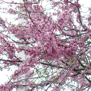 Redbud Bloom