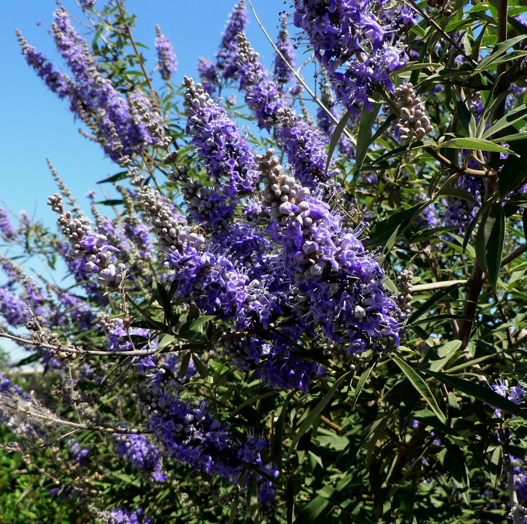 Tree-Chaste-flowers