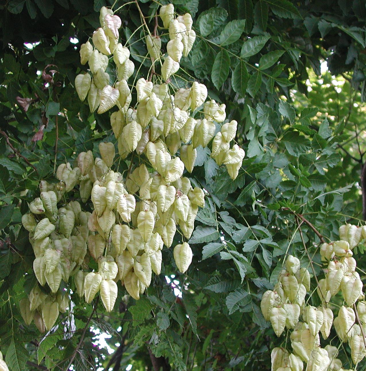 Summer Seedpods