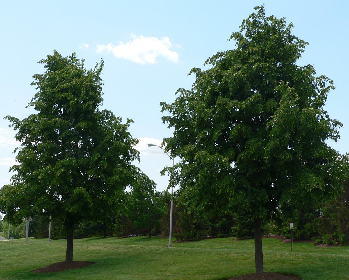 Tree-Little Leaf Linden