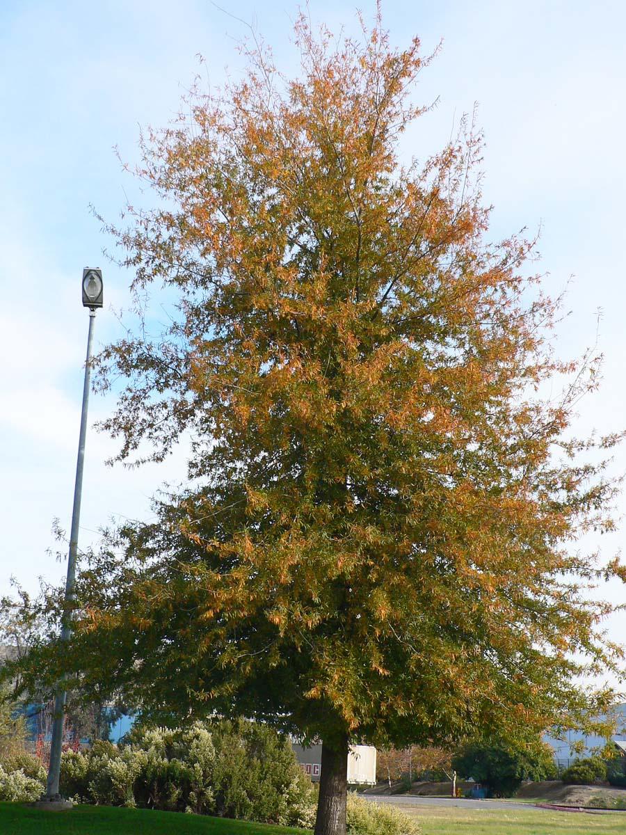 Willow Oak in Fall