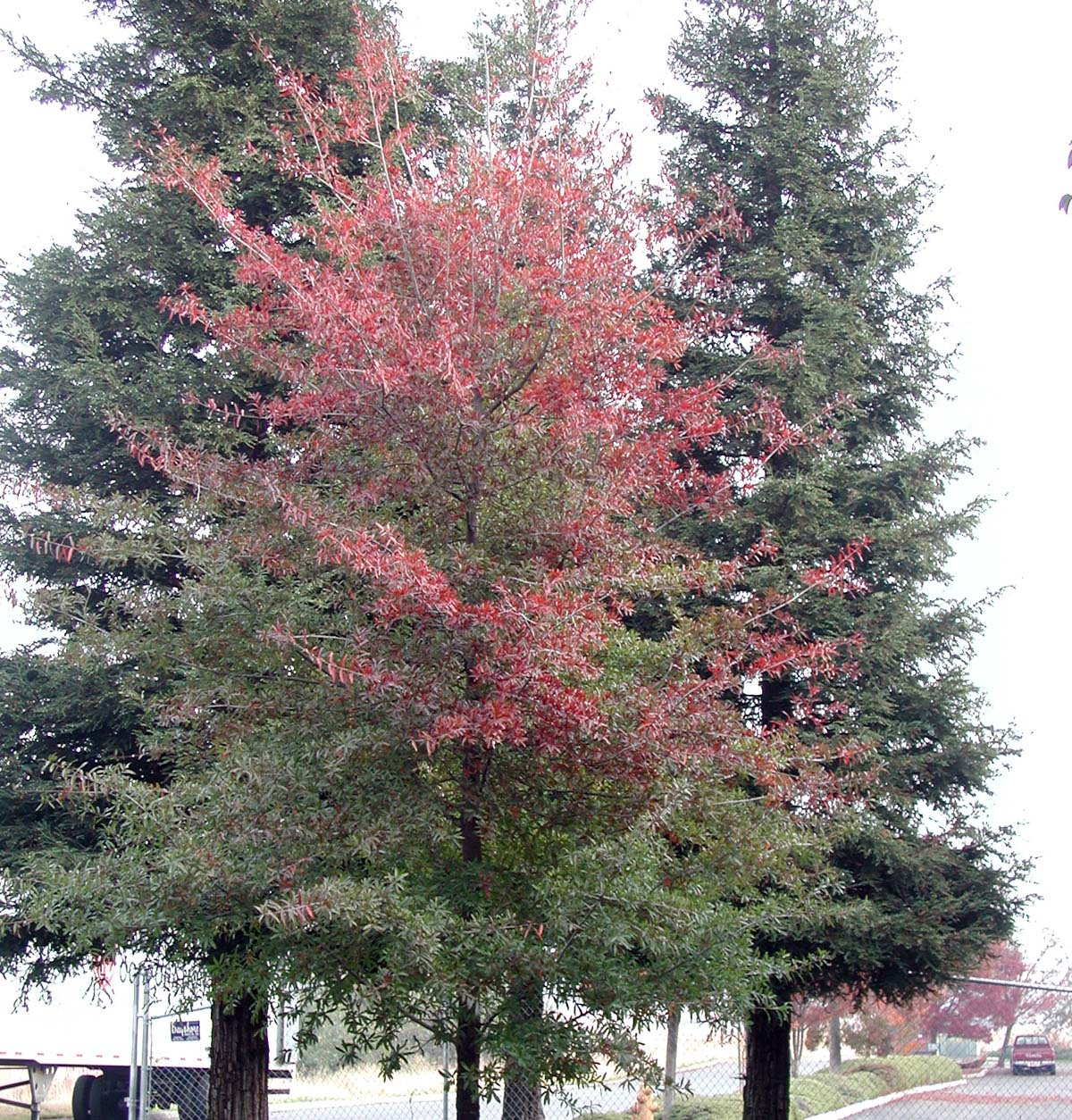 Young Willow Oak in Fall