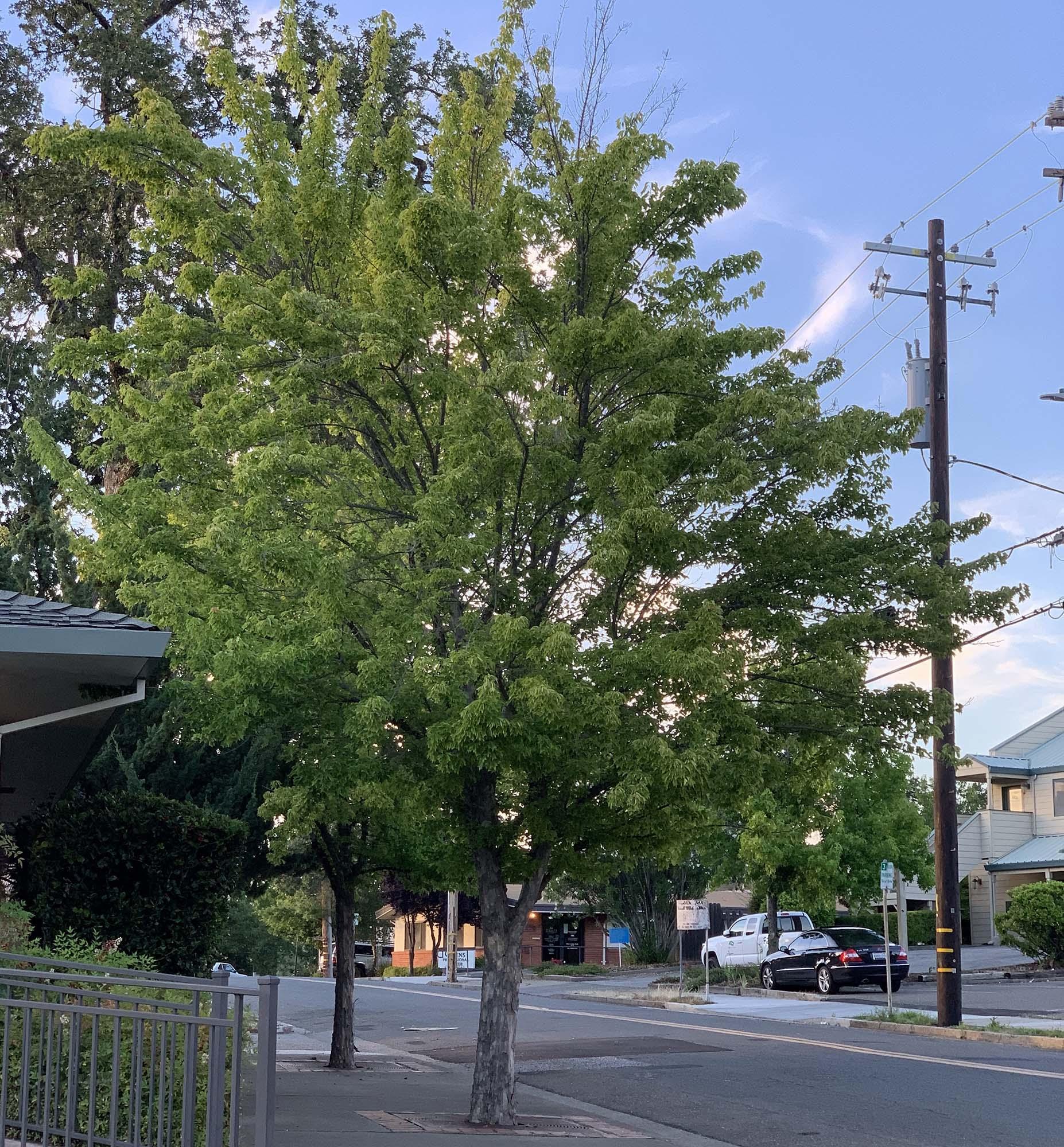 Trident Maple in Summer