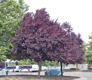 Purple Leaf Plum trees in summer