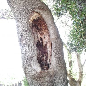 Large pruning wound with decay