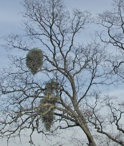 Leafless oak tree with large green growths of mistletoe
