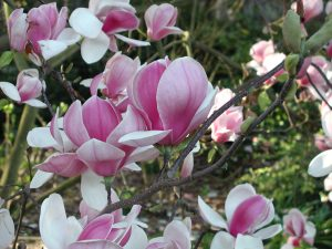 Saucer Magnolia flowers look like tulips and are white with pink or purple