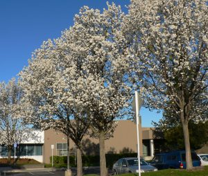 Three Flowering Pear Trees blooming in front of a building