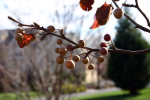Pyrus calleryana fruit Creative Commons s
